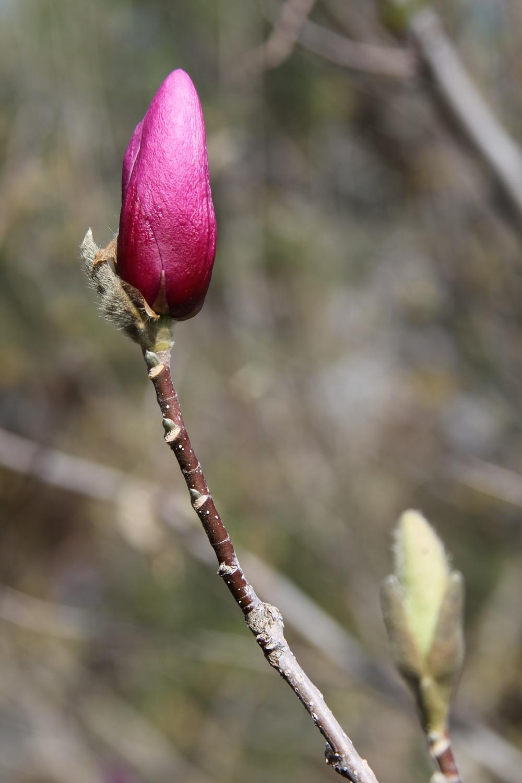 Magnolia Promise