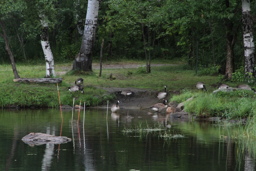 Vermont Geese
